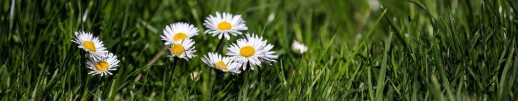 Flores blancas sobre la hierba